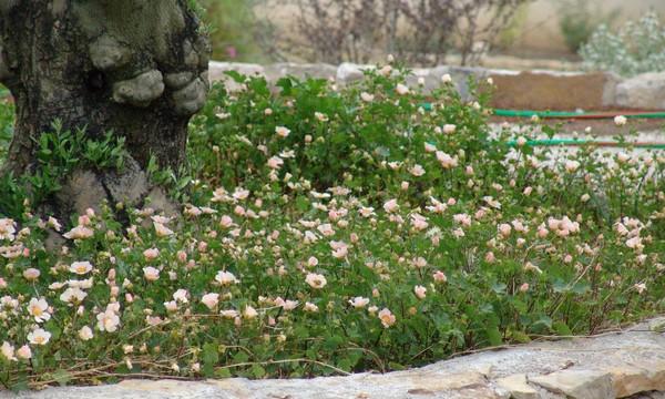 Les plantes couvre-sol Dsc01660