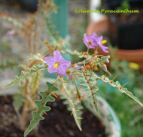 Solanum rantonnetii Dsc01661