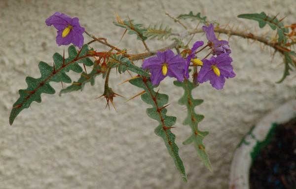 Solanum rantonnetii Dsc01757