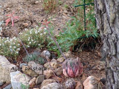 succulentes pour rocaille Dsc01758