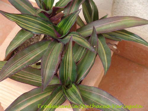 Tracescantia spathacea variegata Dsc01937
