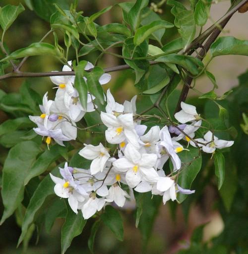 Solanum rantonnetii Dsc02038