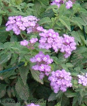 Lantana montevidensis (= Lantana sellowiana) Dsc02040