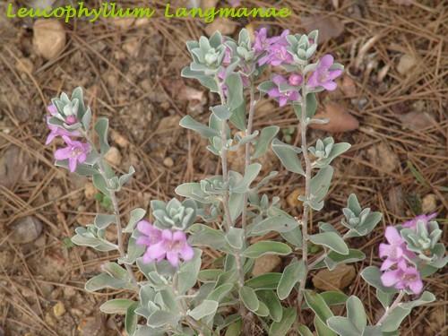 Leucophyllum langmanae Dsc02312