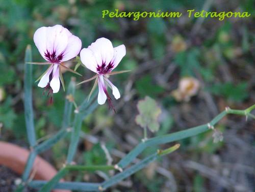 Pelargonium tetragonum Dsc02910