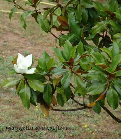 Magnolia grandiflora Dsc02913