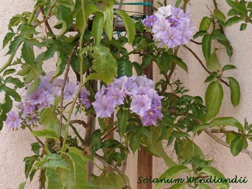 Solanum rantonnetii Dsc03010