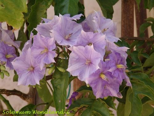 Solanum rantonnetii Dsc03011
