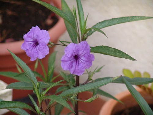 Solanum rantonnetii Dsc03110