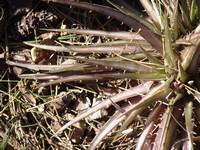 Dyckia brachyphylla Dsc03418