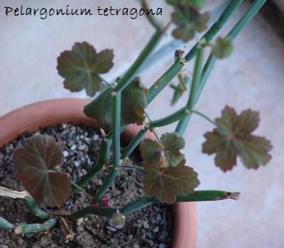 Pelargonium tetragonum Dsc03419