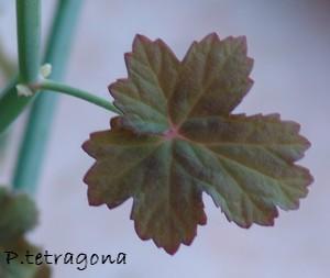 Pelargonium tetragonum Dsc03420
