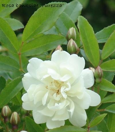*rosa* - rosier 'Purezza' = Rosa banksiae 'Purezza' Dsc_0018