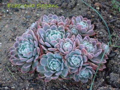 succulentes pour rocaille Jardin12