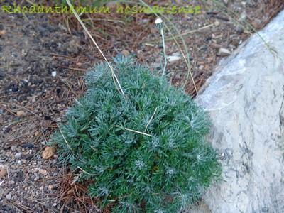 Petites vivaces tapissantes et coussinantes pour rocaille - Page 2 Jardin13