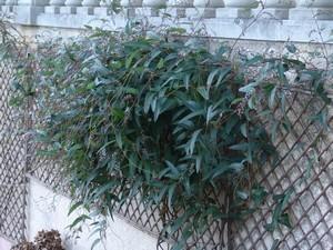 Hardenbergia violacea Jardin15