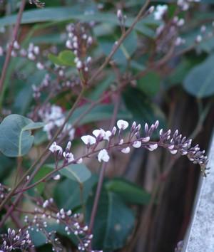 Hardenbergia violacea Jardin17