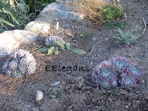 succulentes pour rocaille Jardin18