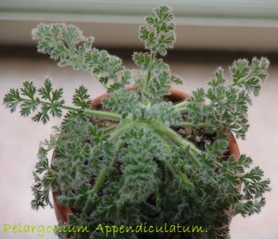 Pelargonium appendiculatum Jardin19
