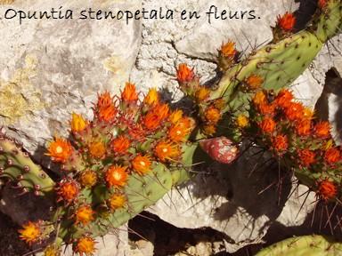 Opuntia stenopetala  Opsten10