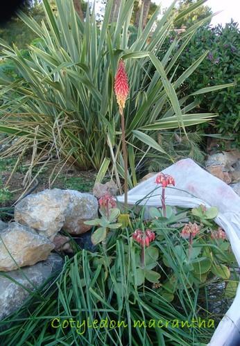 succulentes pour rocaille Photo_17