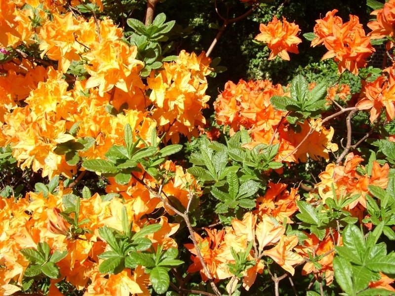 Floraisons d'azalea mollis! Azalea12