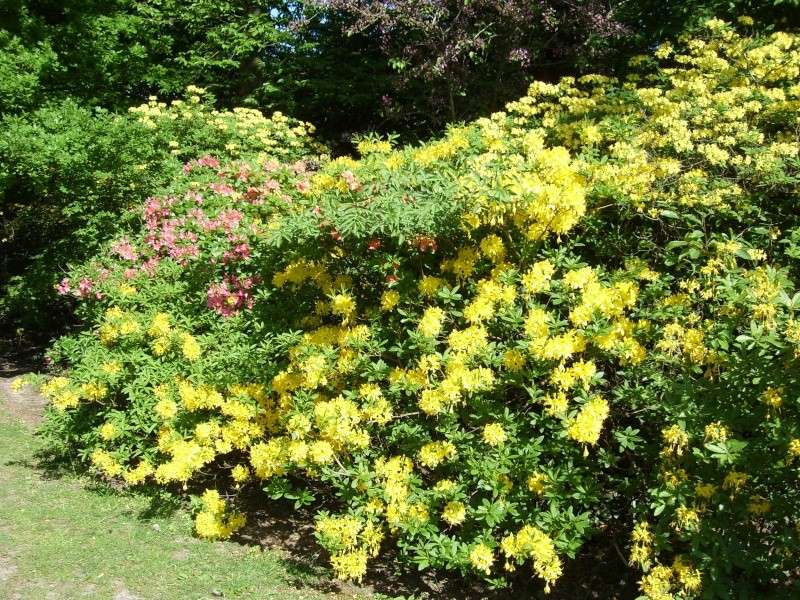 Floraisons d'azalea mollis! Azalea13