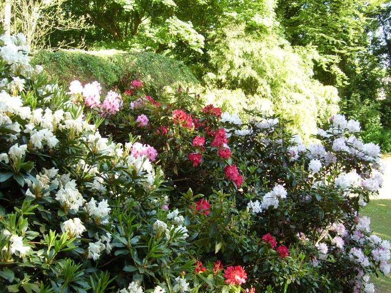 Les rhododendrons sont eux aussi en fleurs! Rhodo_10