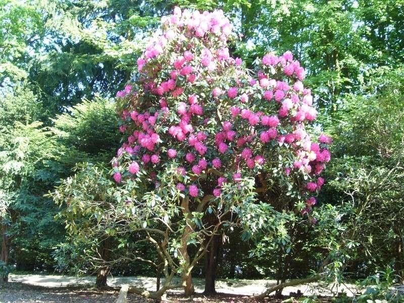 Les rhododendrons sont eux aussi en fleurs! Rhodo_11