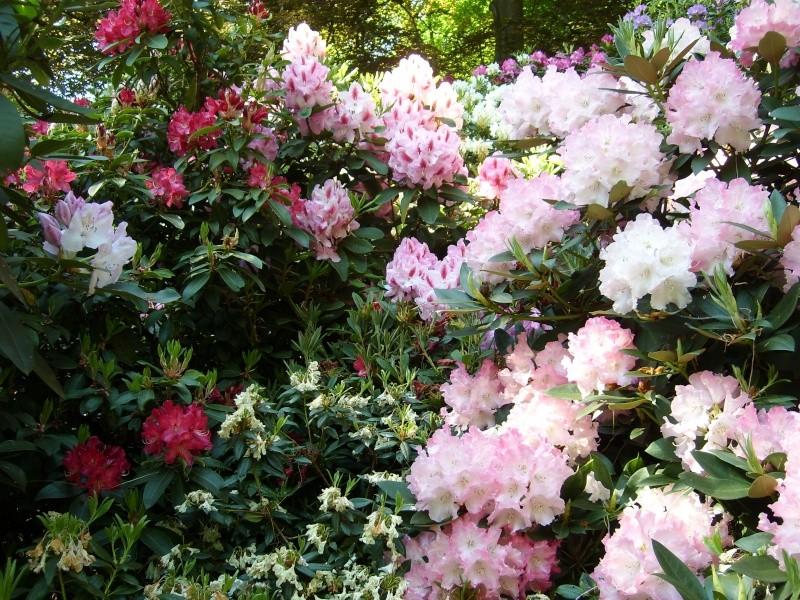 Les rhododendrons sont eux aussi en fleurs! Rhodos10