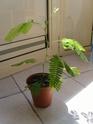 mimosa pudica et desmodium gyran Ss101010