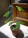 mimosa pudica et desmodium gyran Ss101011