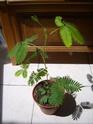 mimosa pudica et desmodium gyran Ss101012