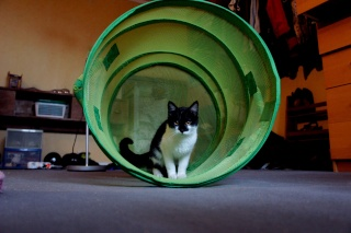 Gédéon, chaton noir et blanc, né le 20/08/2011 Dsc05710