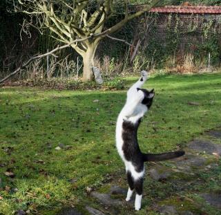 Gédéon, chaton noir et blanc, né le 20/08/2011 Dsc06210