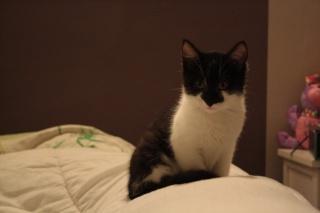 Gédéon, chaton noir et blanc, né le 20/08/2011 Img_7716