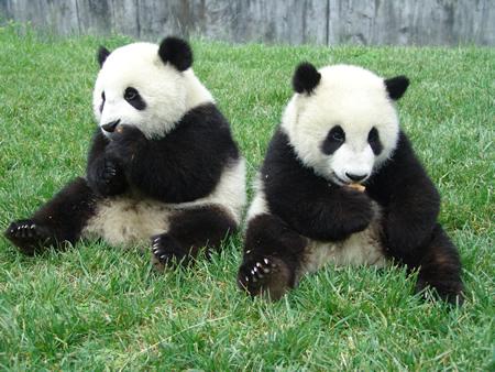 Giant panda 20064210