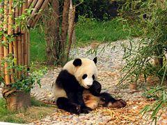 Giant panda 240px-10