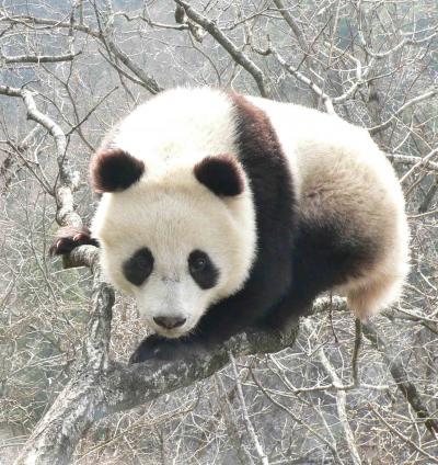 Giant panda Giant-10