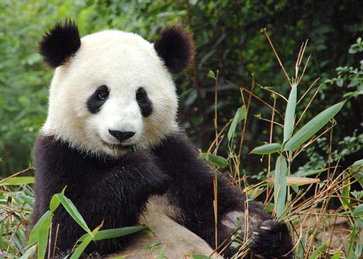 Giant panda Giant-11
