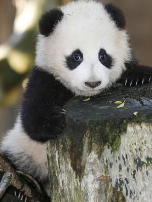 Giant panda Zhenzh10