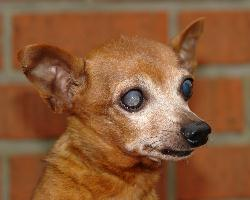 Bobby, pinsher male, 9 ans. Belgique [ADOPTE] Boby10