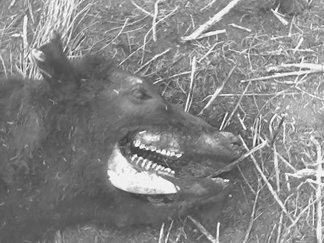 Nuevas mutilaciones de ganado en Bs. As. Muti111