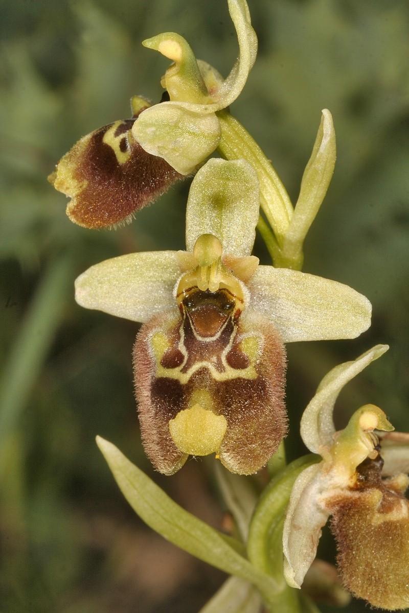 Sicile 2008 Ophrys15