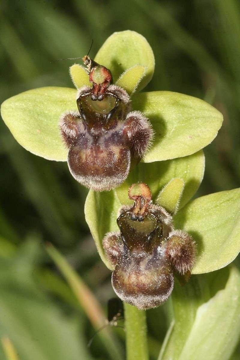 Ophrys bombyliflora ( Ophrys bombyx ) Ophrys16