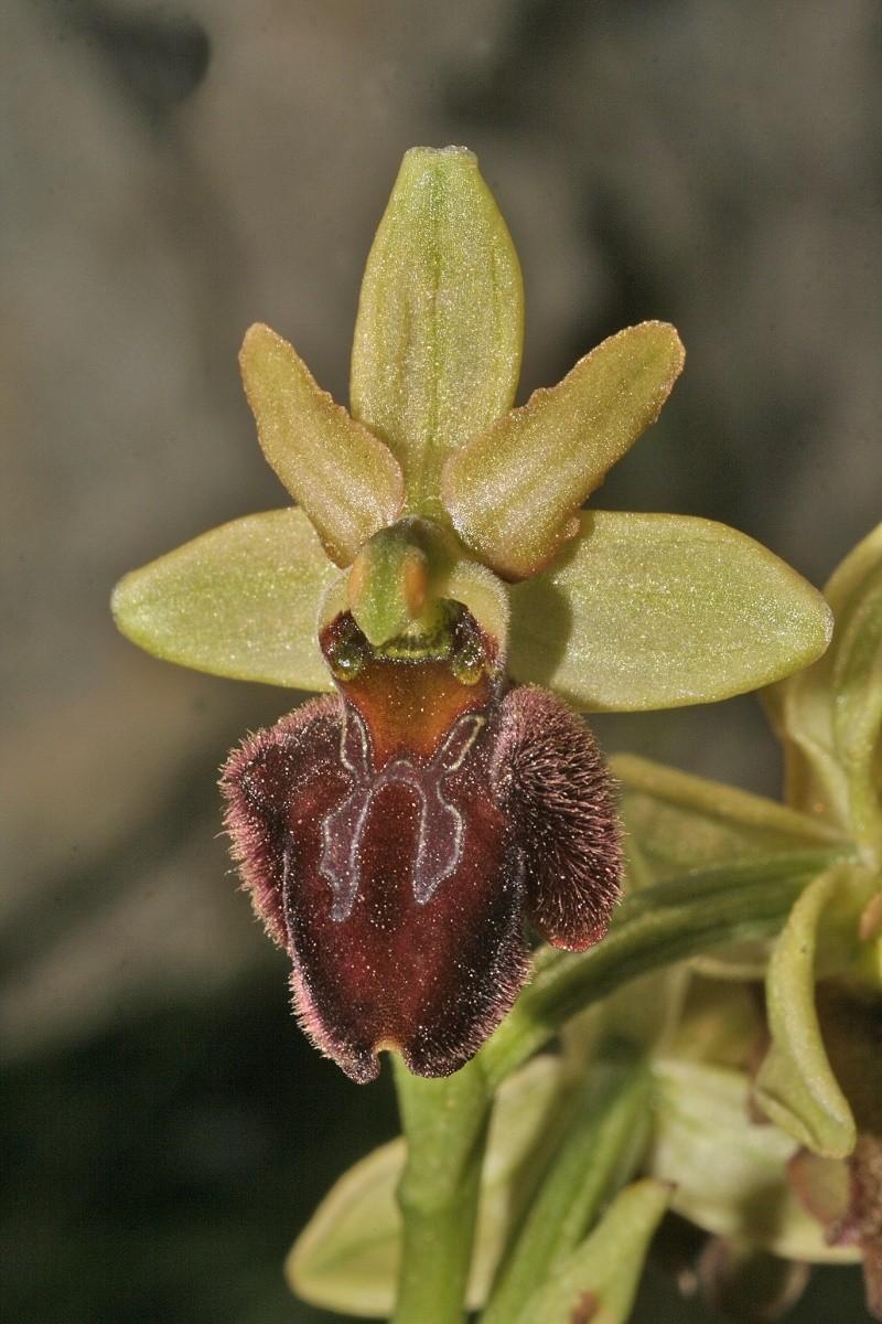 Sicile 2008 Ophrys18