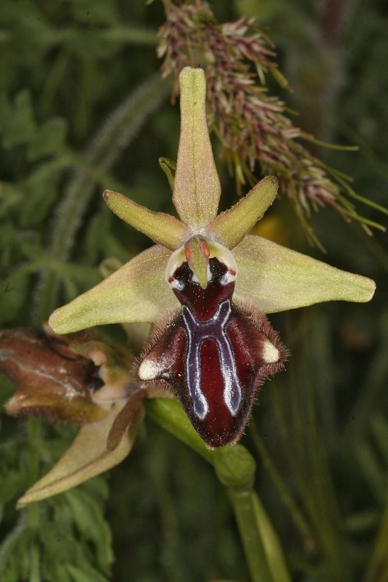 Sicile 2008 Ophrys21