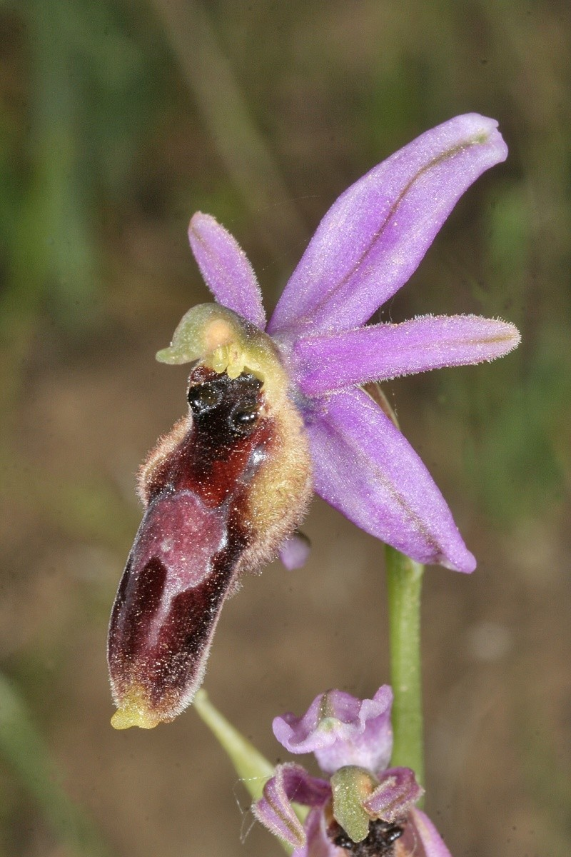 lupercalis forestieri - delforgei/forestieri/lupercalis and co Ophrys22