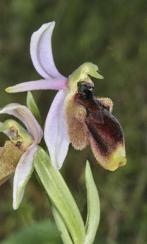 Sicile 2008 Ophrys23