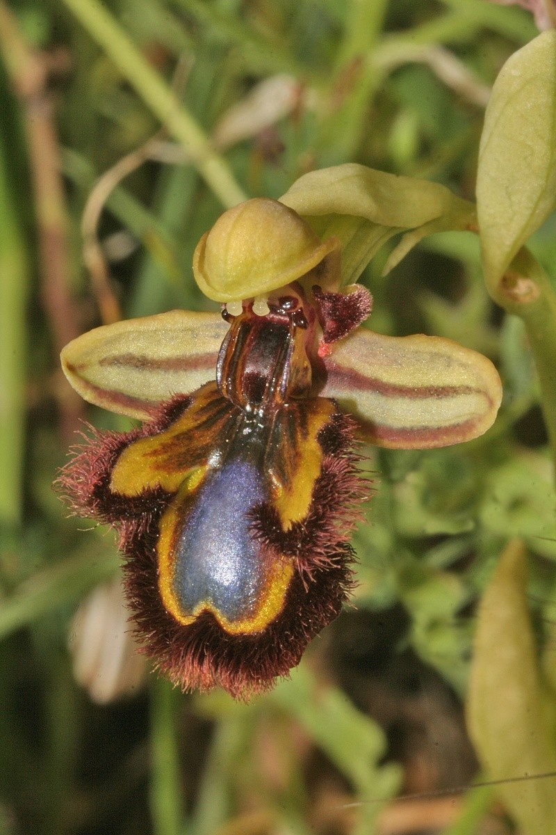 Ophrys speculum( Ophrys miroir ) Ophrys24